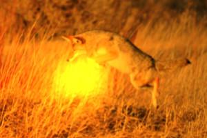 Kojotenfeuer