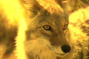 Kojotengott und Sterndämonin (Rufus)