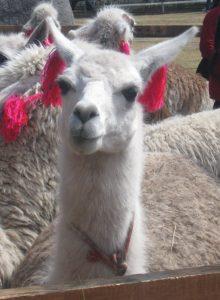 Ein Lama mit roten Bommeln am Ohr